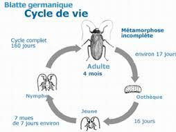 cycle-vie-cafard-blatte-centrale-anti-nuisibles